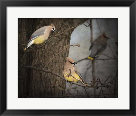 Framed Winter Visitors Cedar Waxwings Print
