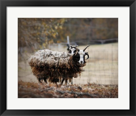 Framed Woolly In Autumn Jacob Sheep Print