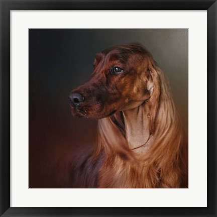 Framed Catching The Breeze Irish Setter Print