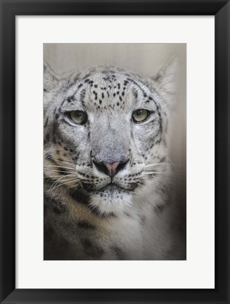 Framed Stare Of The Snow Leopard Print