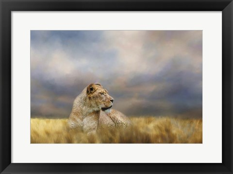 Framed Lioness After The Storm Print