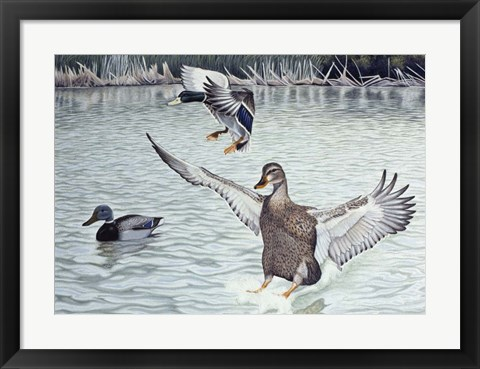 Framed Decoyed Ducks Print