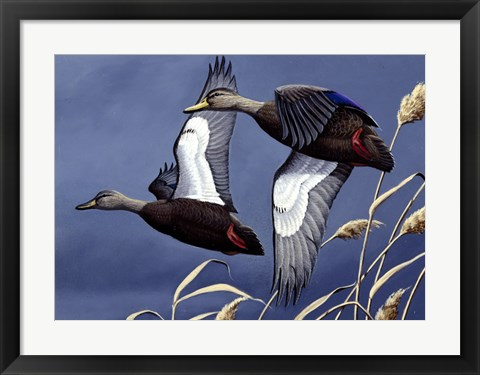 Framed 1984 Black Ducks Print