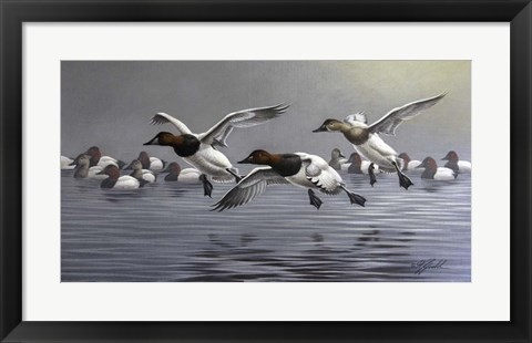 Framed Canvasbacks Coming In Print