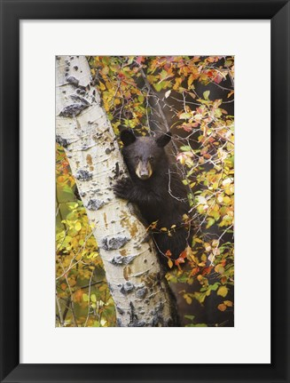 Framed Bear up a Tree Print
