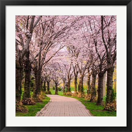 Framed Cherry Blossom Trail Print