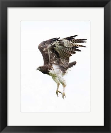 Framed Martial Eagle, Ndutu, Ngorongoro Conservation Area, Tanzania Print