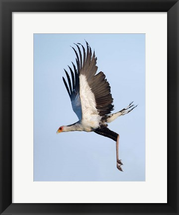 Framed Secretary Bird, Serengeti National Park, Tanzania Print