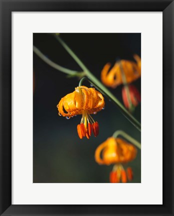 Framed Columbia Lily Flower Blossoms Print