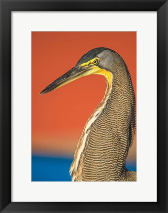 Framed Bare-Throated Tiger Heron, Tortuguero, Costa Rica Print