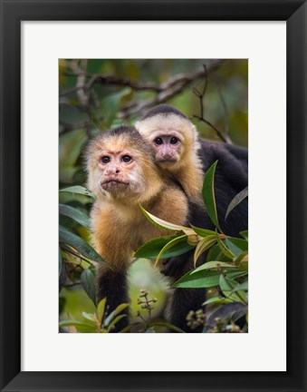 Framed White-Throated Capuchin Monkeys (Cebus capucinus) on tree, Tortuguero, Costa Rica Print