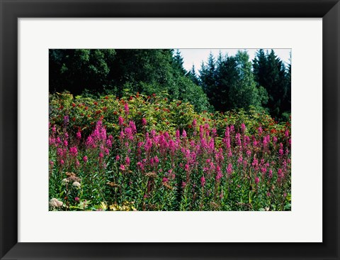 Framed Pink Fireweed Wildflowers, Alaska Print