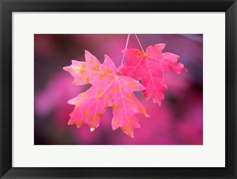 Framed Autumn Color Maple Tree Leaves Print