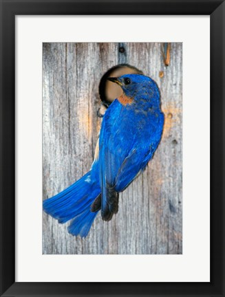 Framed Male Eastern Bluebird Print