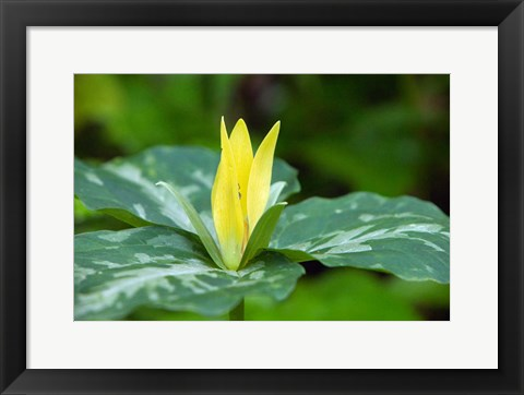 Framed Yellow Trillium Flower, Tennessee Print