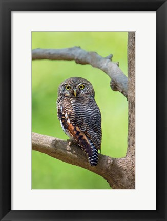 Framed Jungle Owlet, Bandhavgarh National Park, Umaria District, India Print