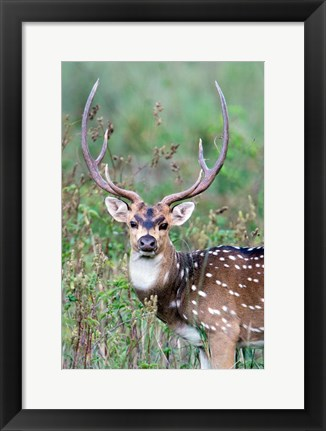 Framed Spotted Deer,Kanha National Park, Madhya Pradesh, India Print