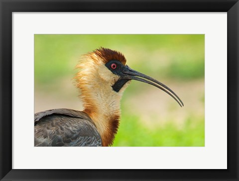 Framed Buff-Necked Ibis,, Pantanal Wetlands, Brazil Print