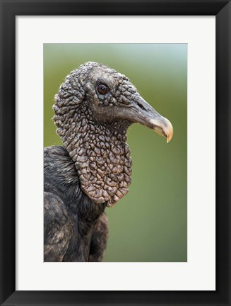 Framed Black Vulture, Pantanal Wetlands, Brazil Print