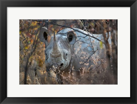 Framed Black Rhinoceros, Etosha National Park, Namibia Print