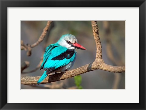 Framed Woodland Kingfisher, Tarangire National Park, Tanzania Print