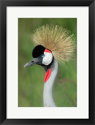 Framed Grey Crowned Crane, Ngorongoro Crater, Tanzania Print