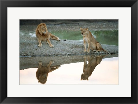 Framed African Lion and Lioness, Ngorongoro Conservation Area, Tanzania Print