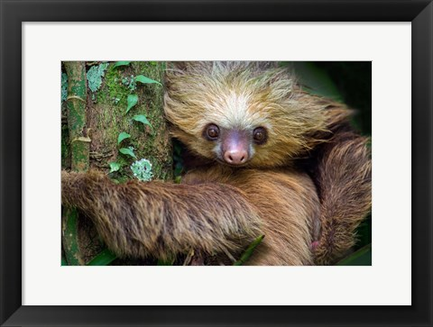 Framed Two-Toed Sloth, Tortuguero, Costa Rica Print