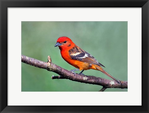 Framed Flame-Colored Tanager Savegre, Costa Rica Print