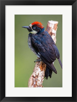 Framed Acorn Woodpecker, Savegre, Costa Rica Print