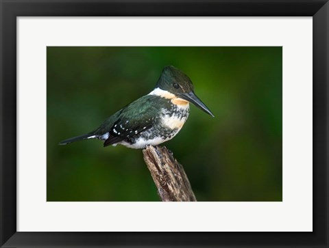 Framed Green Kingfisher, Tortuguero, Costa Rica Print