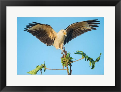 Framed Yellow-Headed Caracara, Pacific Coast, Costa Rica Print