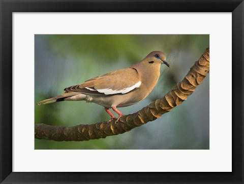 Framed White-Winged Dove, Tarcoles River, Costa Rica Print
