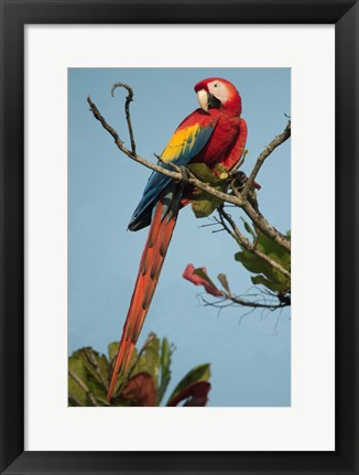Framed Scarlet Macaw Tarcoles River, Pacific Coast, Costa Rica Print