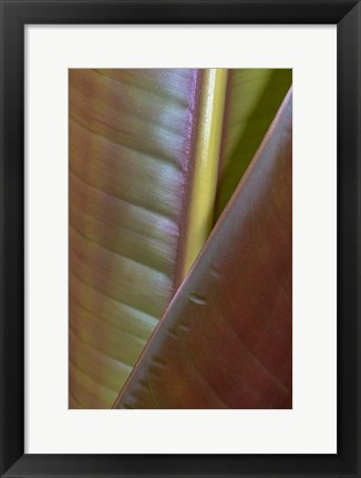 Framed Banana Leaf, Sarapiqui, Costa Rica Print