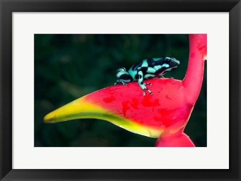Framed Green and Black Poison Dart Frog, Sarapiqui, Costa Rica Print