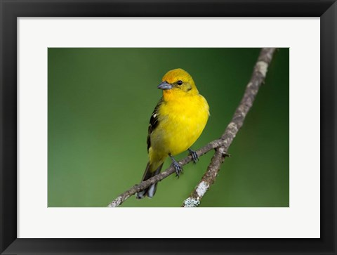 Framed Flame-Colored Tanager, Costa Rica Print