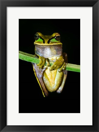 Framed Masked Tree Frog Sarapiqui, Costa Rica Print