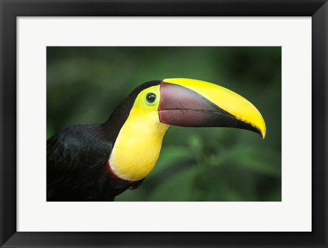 Framed Keel-Billed Toucan, Sarapiqui, Costa Rica Print