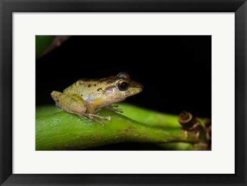 Framed Tink Frog, Tortuguero, Costa Rica Print