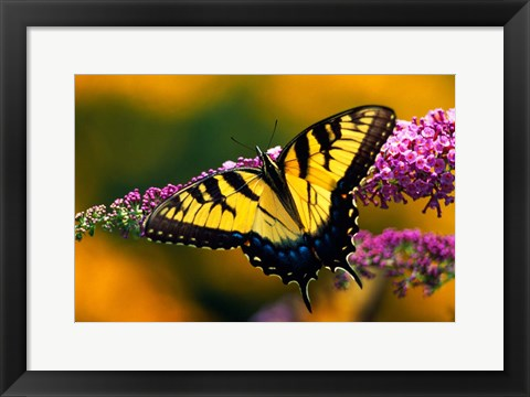 Framed Male Tiger Swallowtail Butterfly Print