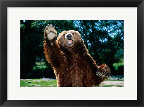 Framed Grizzly Bear On Hind Legs Print