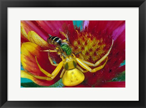 Framed Goldenrod Crab Spider Print