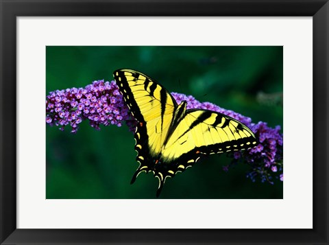 Framed Tiger Swallowtail Butterfly Print