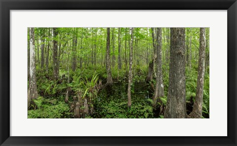 Framed Six Mile Cypress Slough Preserve in Fort Myers, Florida Print