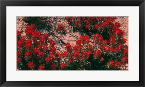 Framed Indian Paintbrush, UT Print