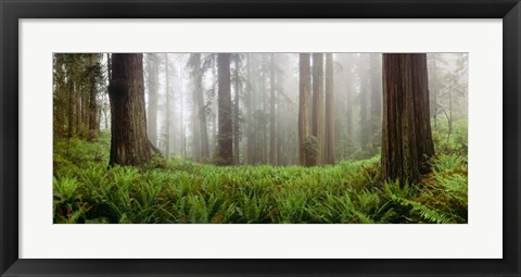 Framed Vine Maple Trees, Mt Hood, Oregon Print
