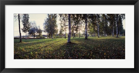 Framed Birch Trees, Imatra, Finland Print