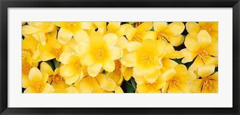 Framed Yellow Tulips Print