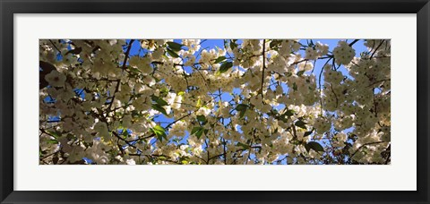 Framed Cherry Blossoms Riverside Park, Manhattan, New York City Print